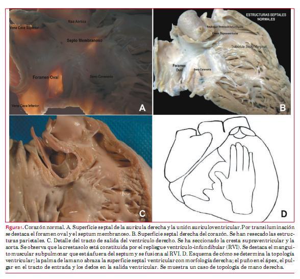 Bases anatómicas